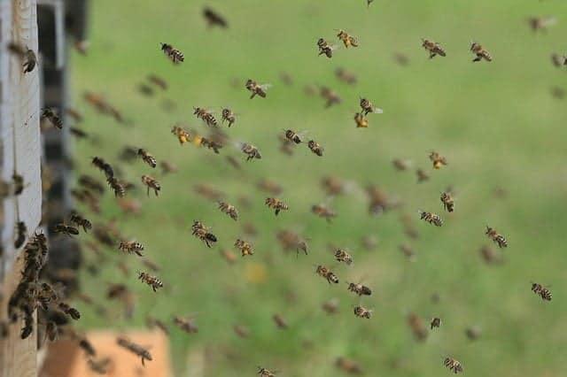 combien d'abeilles vivent dans une ruche